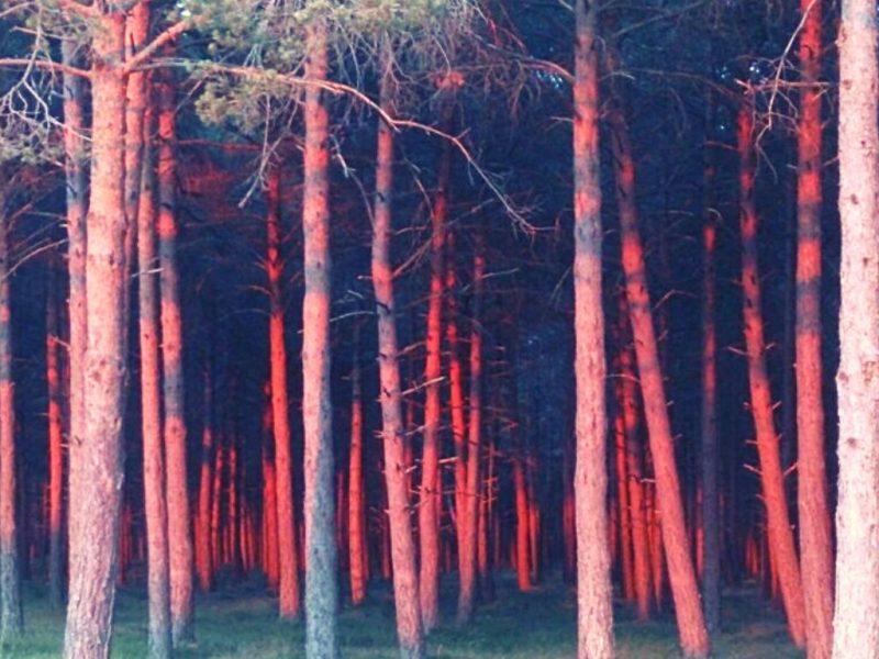 Bosque de pinos silvestres en Arlanzón